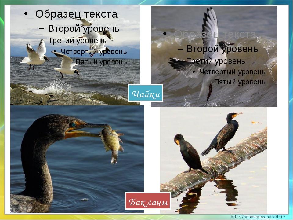 Чайки Бакланы