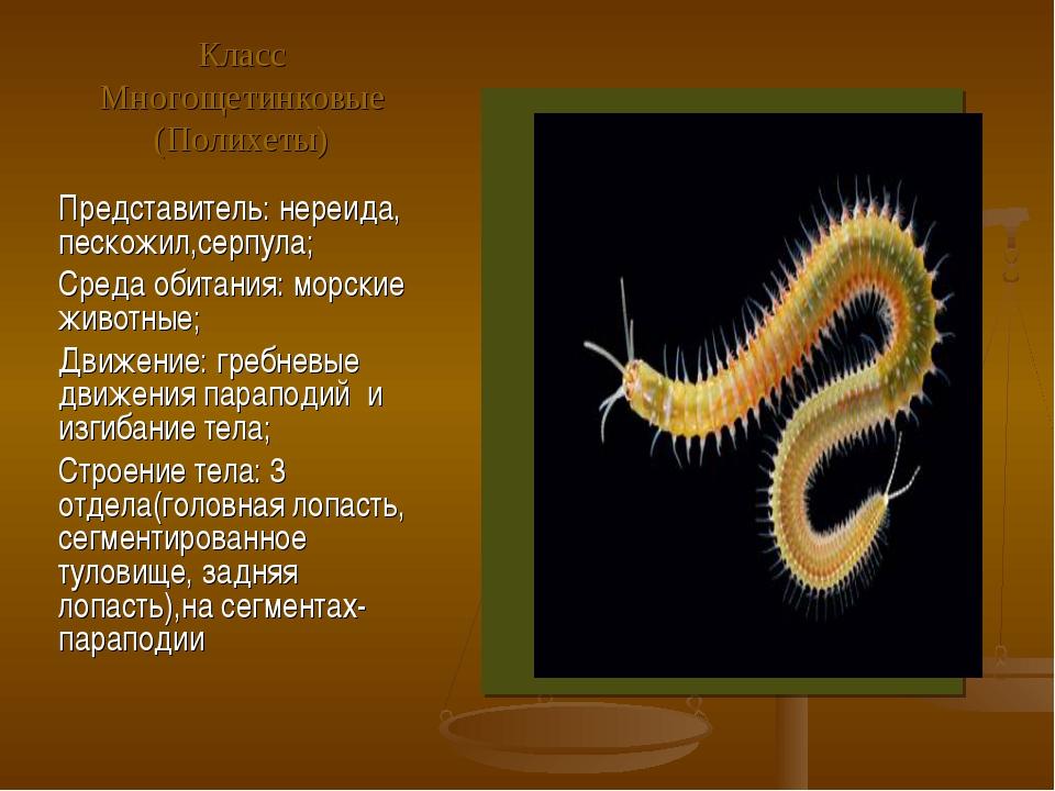 Класс Многощетинковые (Полихеты) Представитель: нереида, пескожил,серпула; Ср...