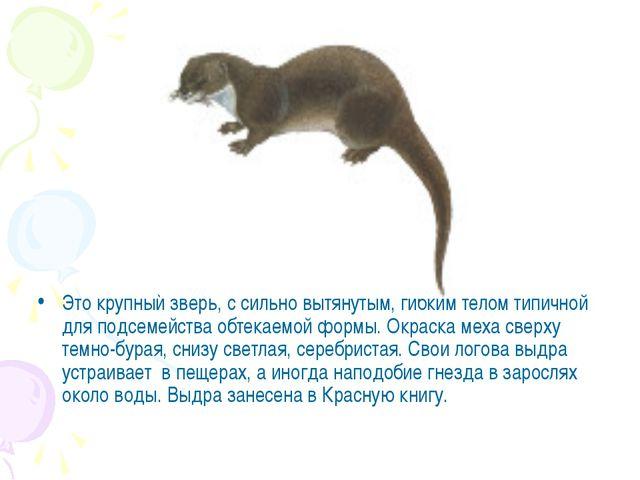 Это крупный зверь, с сильно вытянутым, гибким телом типичной для подсемейства...