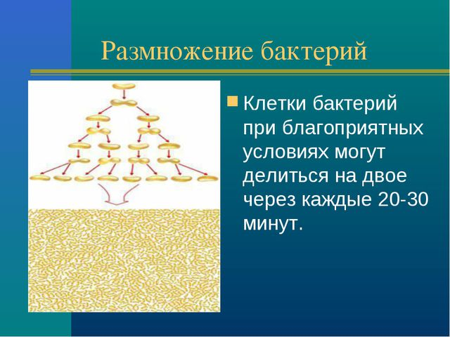 Размножение бактерий Клетки бактерий при благоприятных условиях могут делитьс...