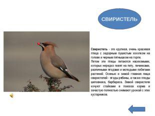 Свиристель - это крупная, очень красивая птица с задорным пушистым хохолком н
