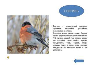 Снегирь - красногрудый красавец, украшение бескрайних российских белоснежных