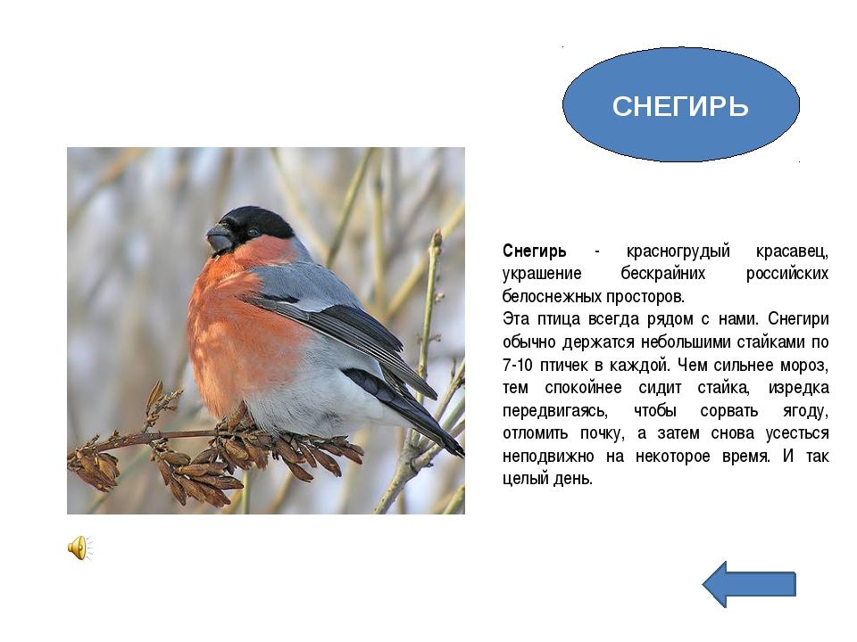 Снегирь - красногрудый красавец, украшение бескрайних российских белоснежных...
