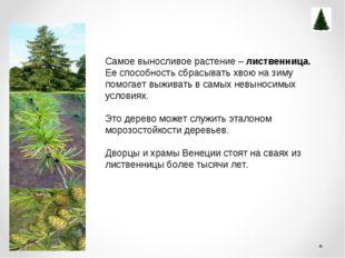 Самое выносливое растение – лиственница. Ее способность сбрасывать хвою нази