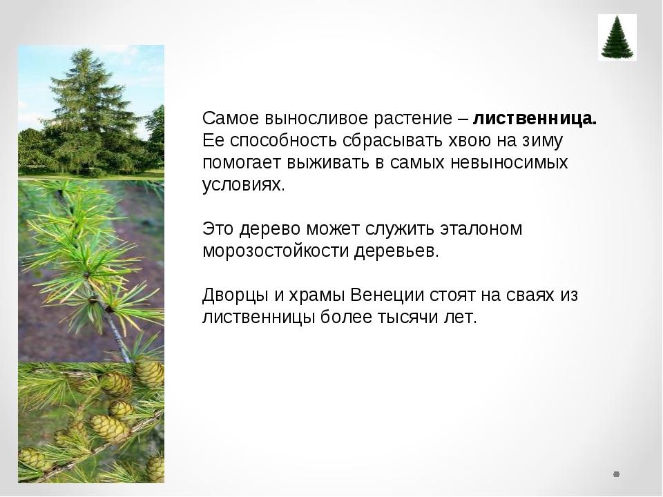 Самое выносливое растение – лиственница. Ее способность сбрасывать хвою нази...