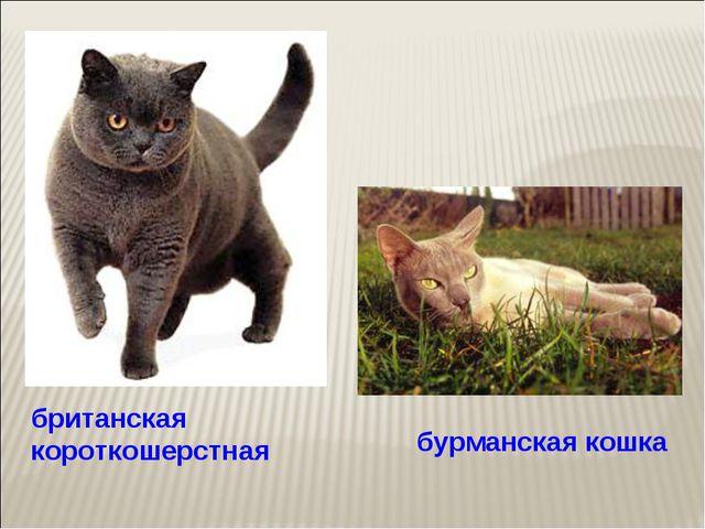 британская короткошерстная бурманская кошка