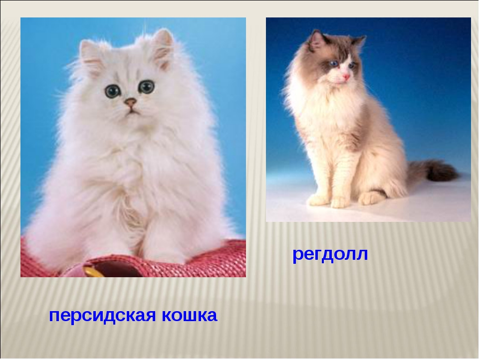 персидская кошка регдолл