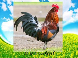 It is a cockerel.