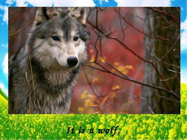 It is a wolf.