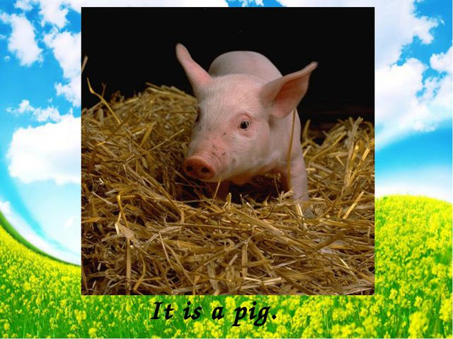 It is a pig.