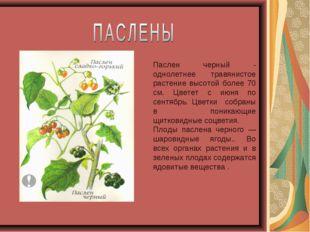 Паслен черный - однолетнее травянистое растение высотой более 70 см. Цветет с