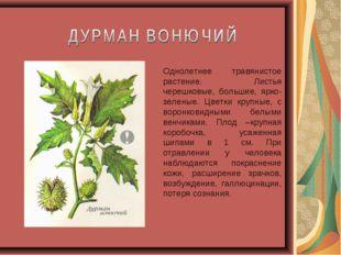 Однолетнее травянистое растение. Листья черешковые, большие, ярко-зеленые. Цв