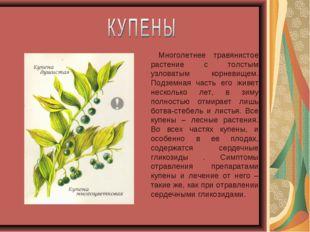 Многолетнее травянистое растение с толстым узловатым корневищем. Подземная ч