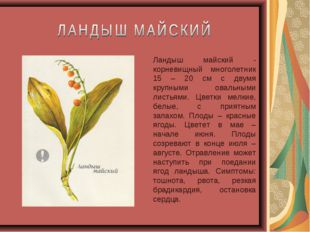 Ландыш майский - корневищный многолетник 15 – 20 см с двумя крупными овальным