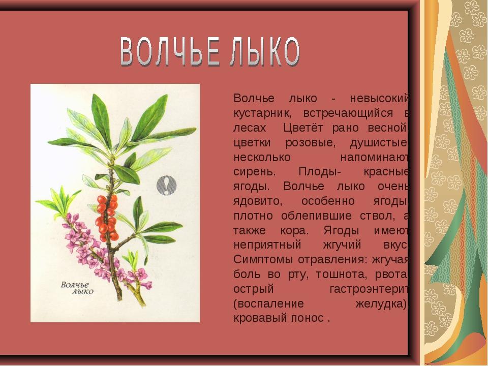 Волчье лыко - невысокий кустарник, встречающийся в лесах Цветёт рано весной,...