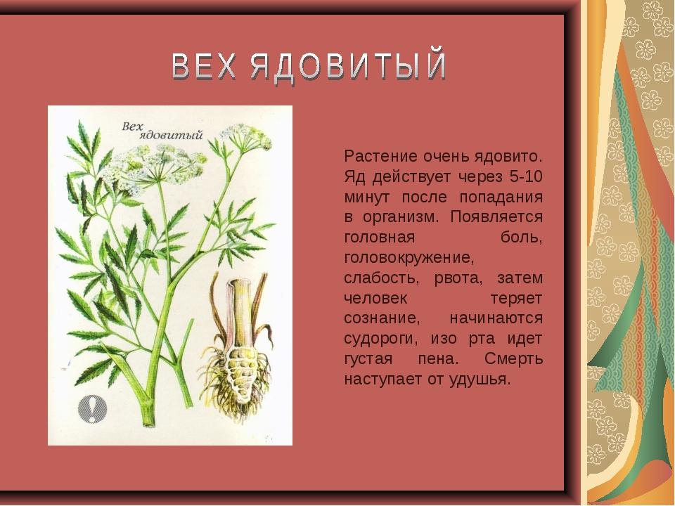Растение очень ядовито. Яд действует через 5-10 минут после попадания в орган...