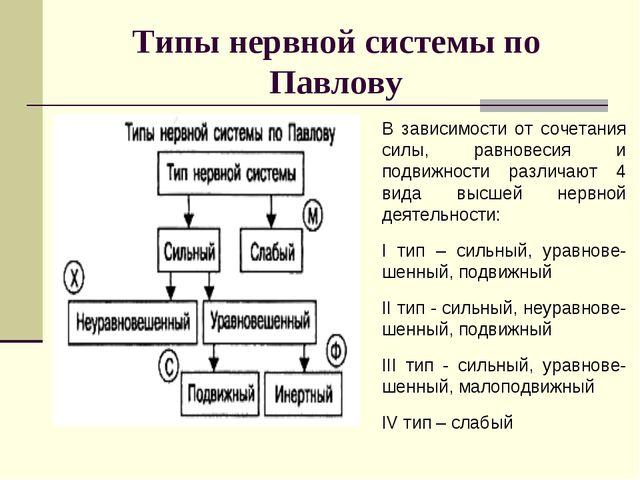 Типы нервной системы по Павлову В зависимости от сочетания силы, равновесия и...