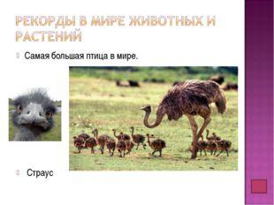 Самая большая птица в мире. Страус