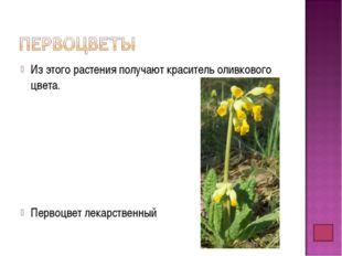 Из этого растения получают краситель оливкового цвета. Первоцвет лекарственный