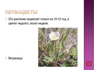 Это растение зацветает только на 10-12 год, и цветет недолго, около недели. В