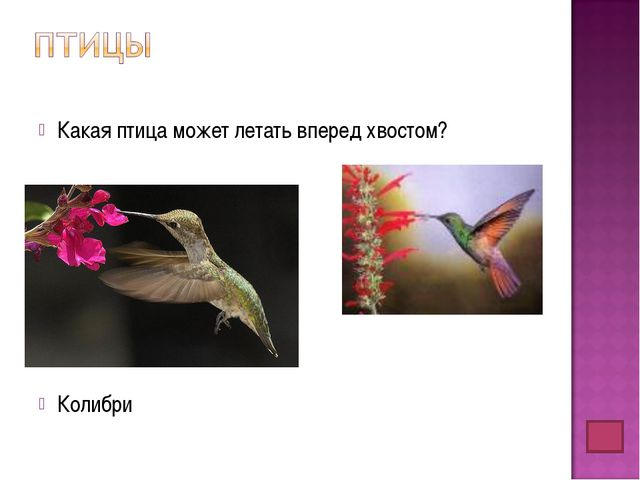 Какая птица может летать вперед хвостом? Колибри