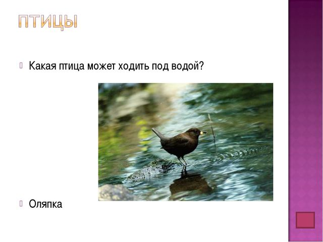 Какая птица может ходить под водой? Оляпка
