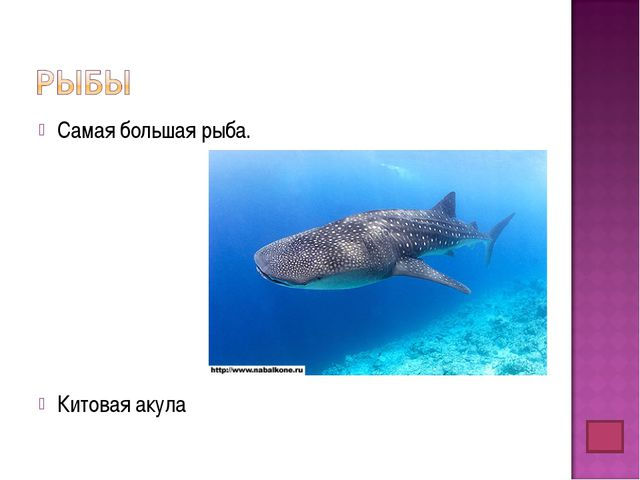 Самая большая рыба. Китовая акула