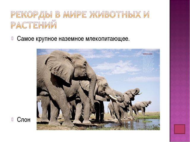 Самое крупное наземное млекопитающее. Слон