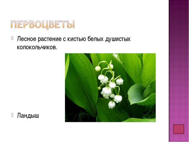 Лесное растение с кистью белых душистых колокольчиков. Ландыш