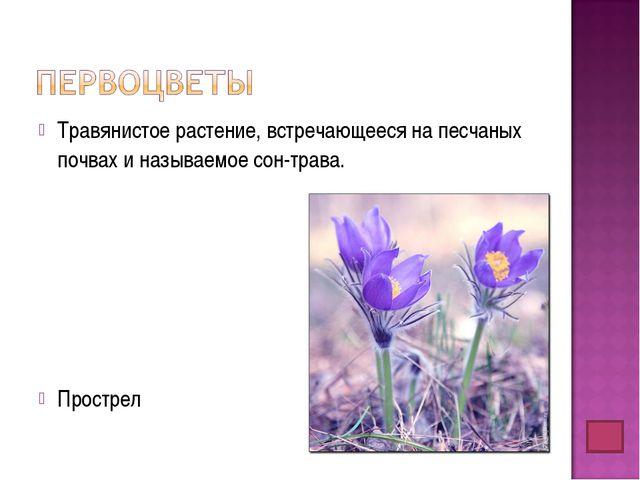 Травянистое растение, встречающееся на песчаных почвах и называемое сон-трава...