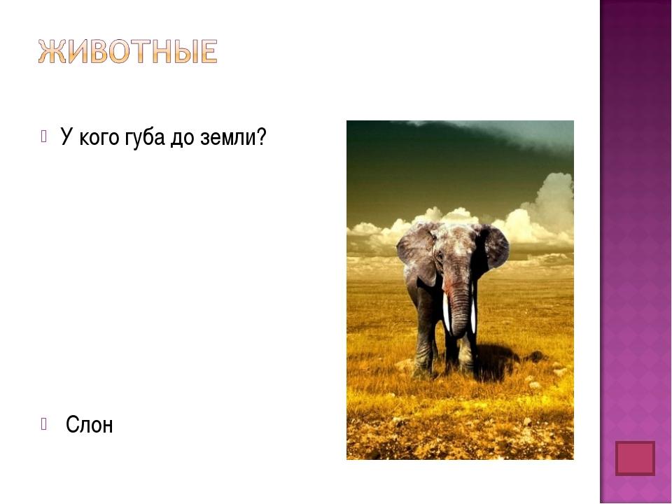 У кого губа до земли? Слон