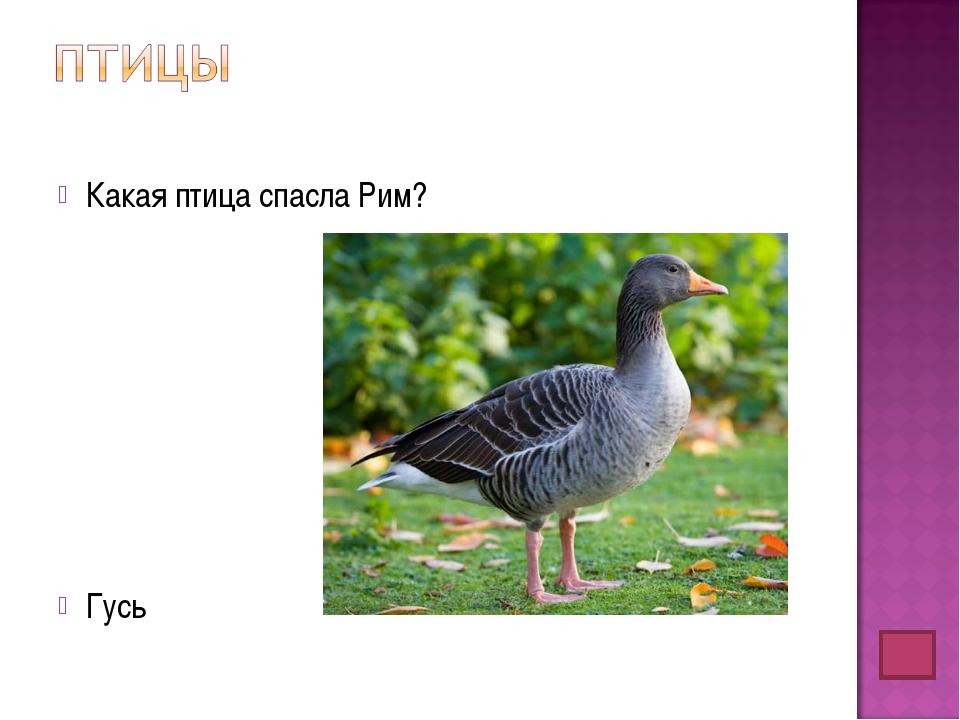 Какая птица спасла Рим? Гусь