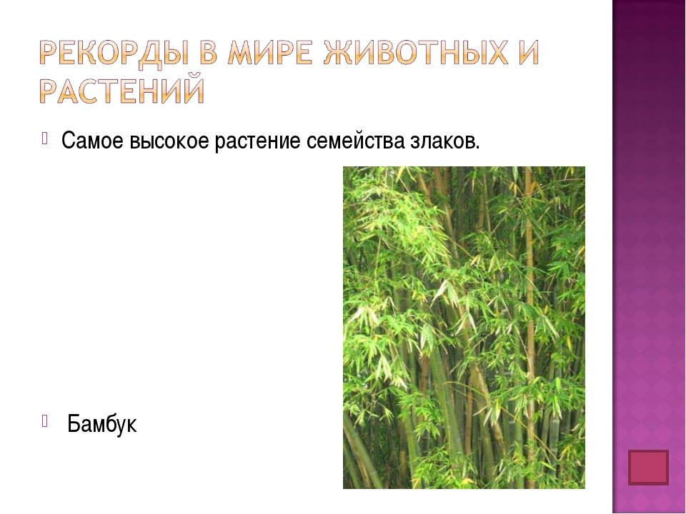 Самое высокое растение семейства злаков. Бамбук
