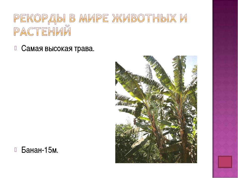 Самая высокая трава. Банан-15м.