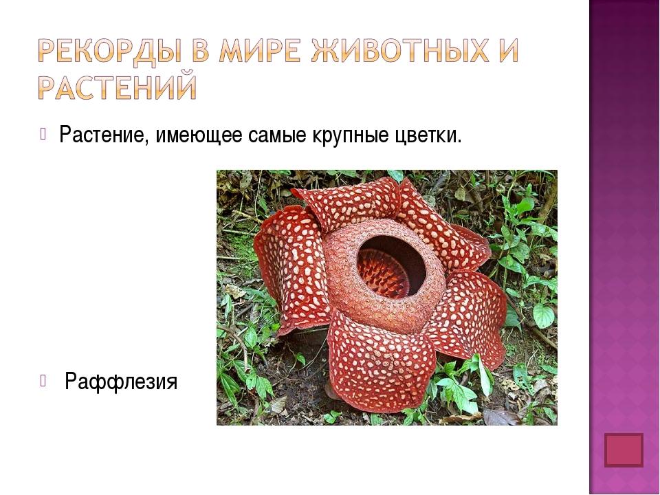 Растение, имеющее самые крупные цветки. Раффлезия
