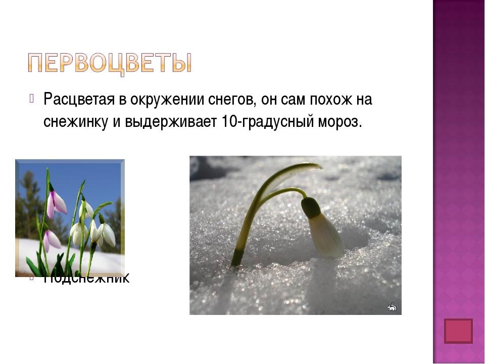 Расцветая в окружении снегов, он сам похож на снежинку и выдерживает 10-граду...