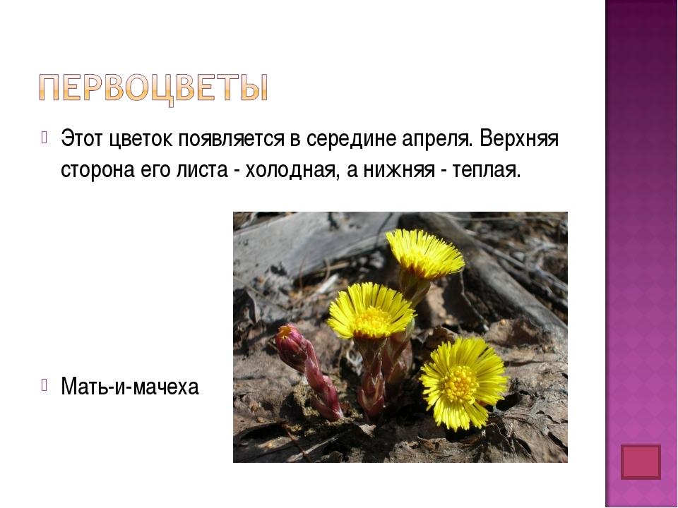 Этот цветок появляется в середине апреля. Верхняя сторона его листа - холодна...
