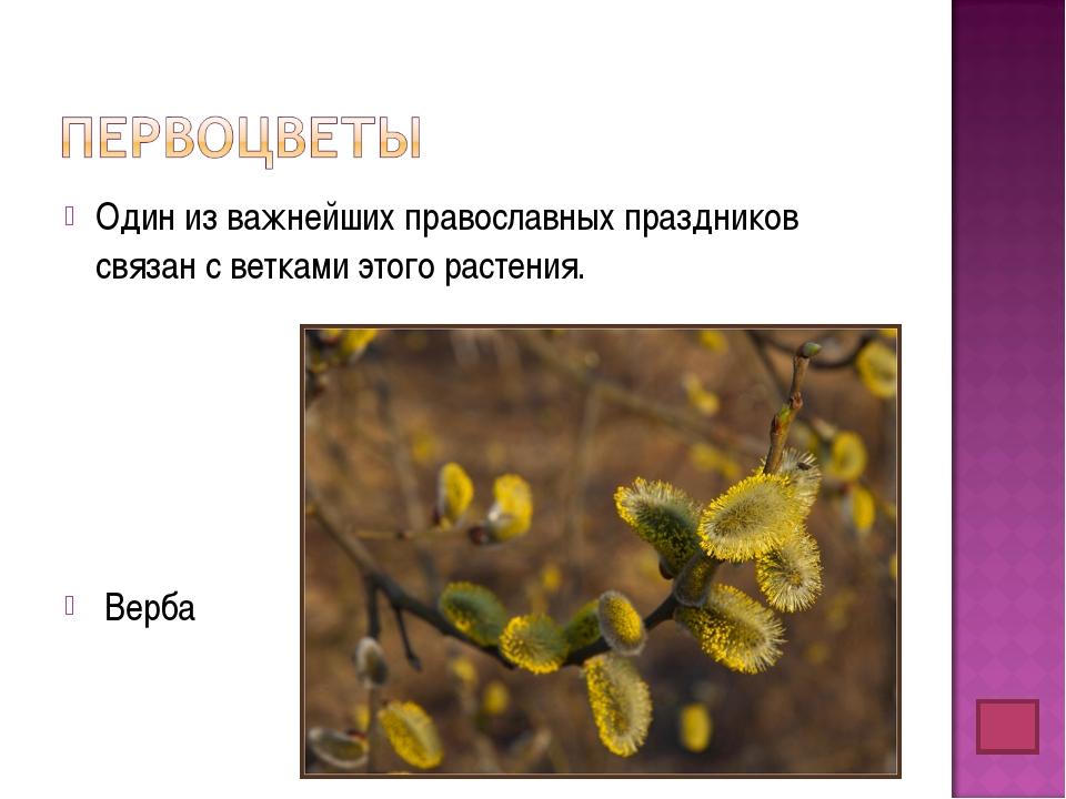 Один из важнейших православных праздников связан с ветками этого растения. Ве...