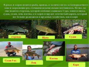 Судак  В реках и озерах водится рыба, правда, ее количество из-за беспорядоч