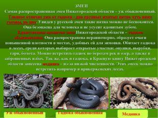 Медянка  ЗМЕИ Самая распространенная змея Нижегородской области –уж обыкнов