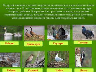 Во время весенних и осенних перелетов спускаются на озера области лебеди и ди