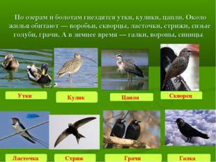 По озерам и болотам гнездятся утки, кулики, цапли. Около жилья обитают — вор