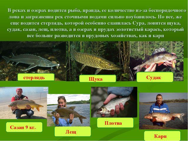 Судак  В реках и озерах водится рыба, правда, ее количество из-за беспорядоч...