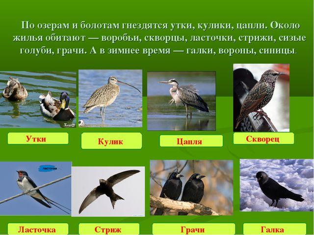 По озерам и болотам гнездятся утки, кулики, цапли. Около жилья обитают — вор...