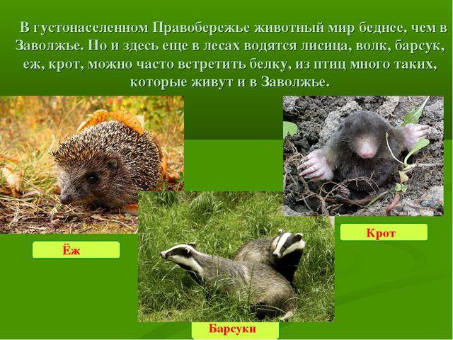 В густонаселенном Правобережье животный мир беднее, чем в Заволжье. Но и зд...