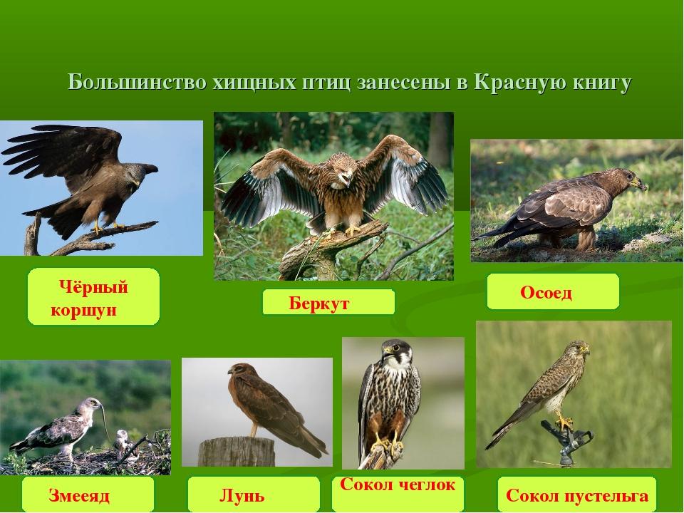 Большинство хищных птиц занесены в Красную книгу Чёрный коршун Беркут Осоед...