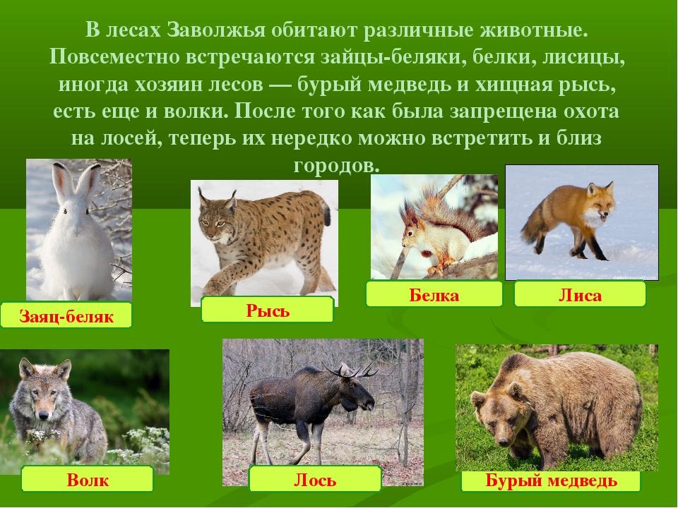 В лесах Заволжья обитают различные животные. Повсеместно встречаются зайцы-бе...