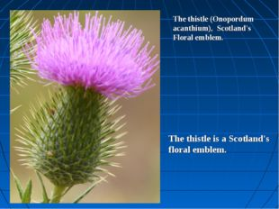 The thistle (Onopordum acanthium), Scotland's Floral emblem. The thistle is a