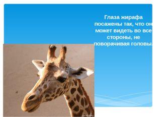 Глаза жирафа посажены так, что он может видеть во все стороны, не поворачивая