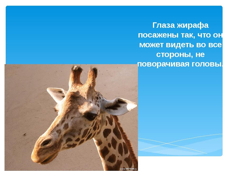 Глаза жирафа посажены так, что он может видеть во все стороны, не поворачивая...